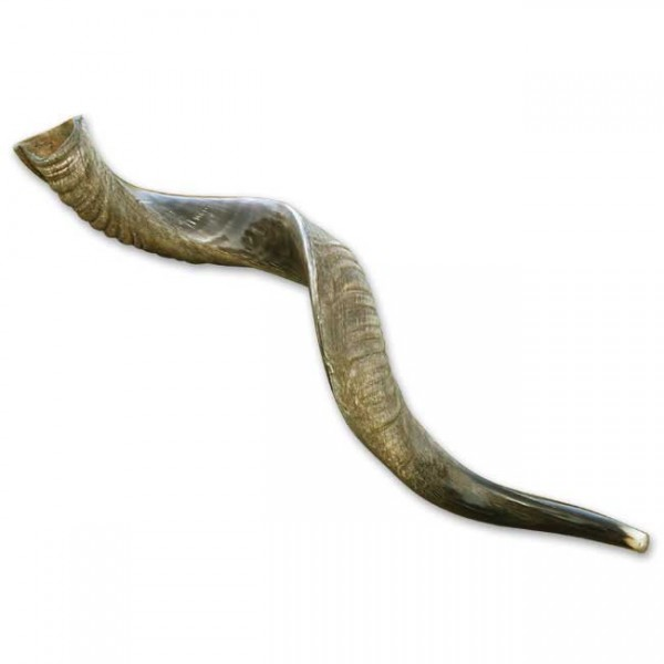 Mittleres Jemenitisches Schofar ( 60 - 70 cm )